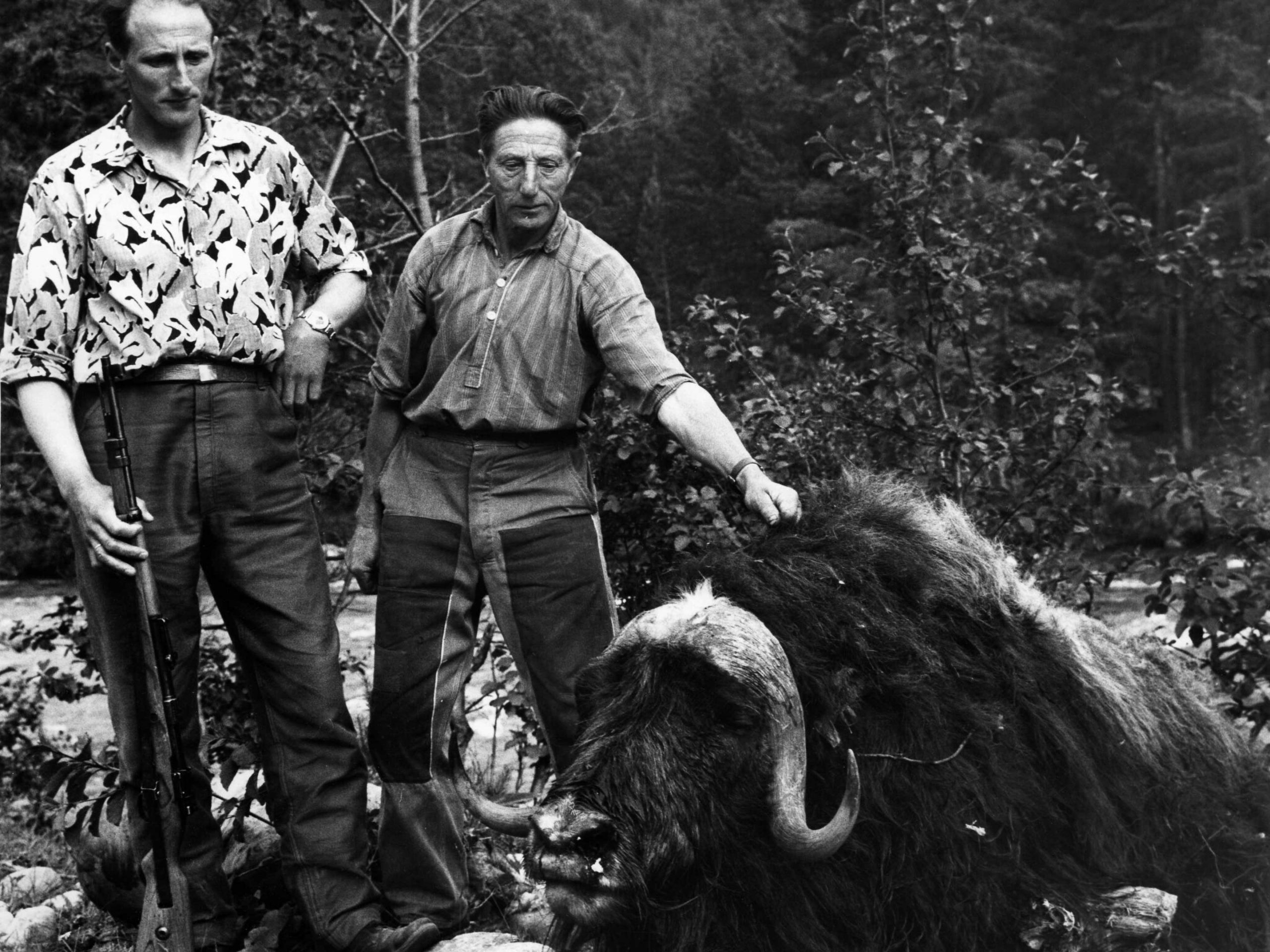 Locals Inge and Iver Stølen with the killer muskox bull.   C. Jacobsen - Trondheim byarkiv - cc by.